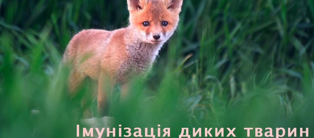 Увага! Імунізація диких тварин